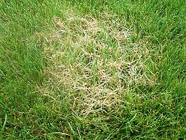 Red-Thread-Lawn-Patch