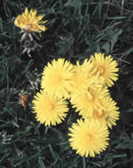 Dandelionflowers