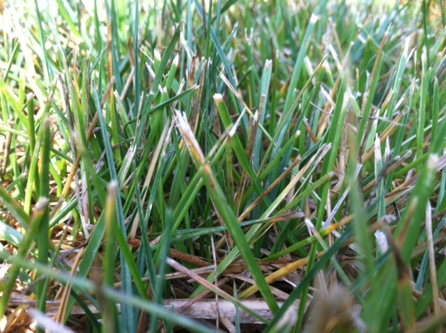 Dull Mower Blades Cause Yellow Grass