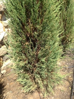 Drought Stress in Shrubs