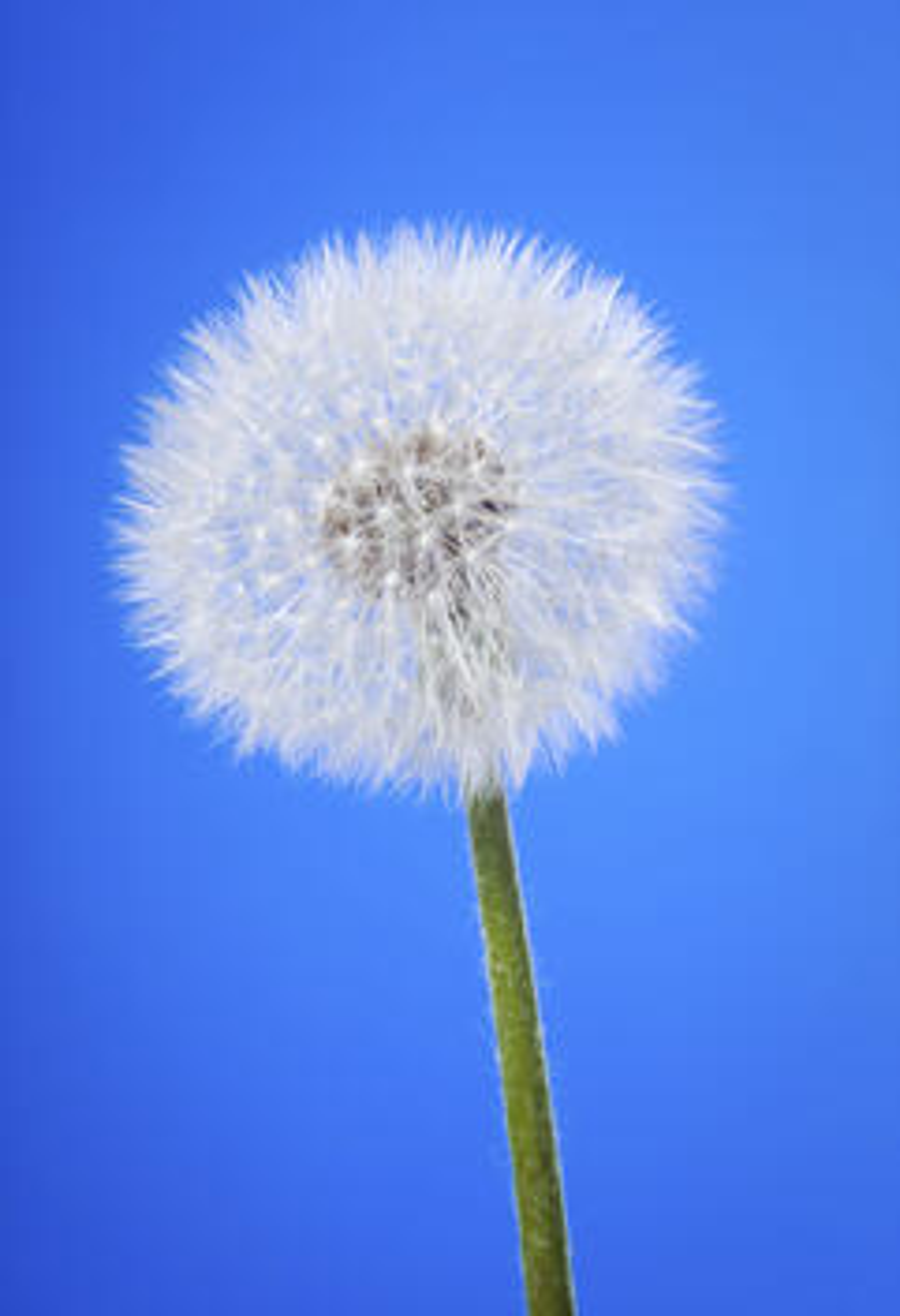 snowglobe dandelion