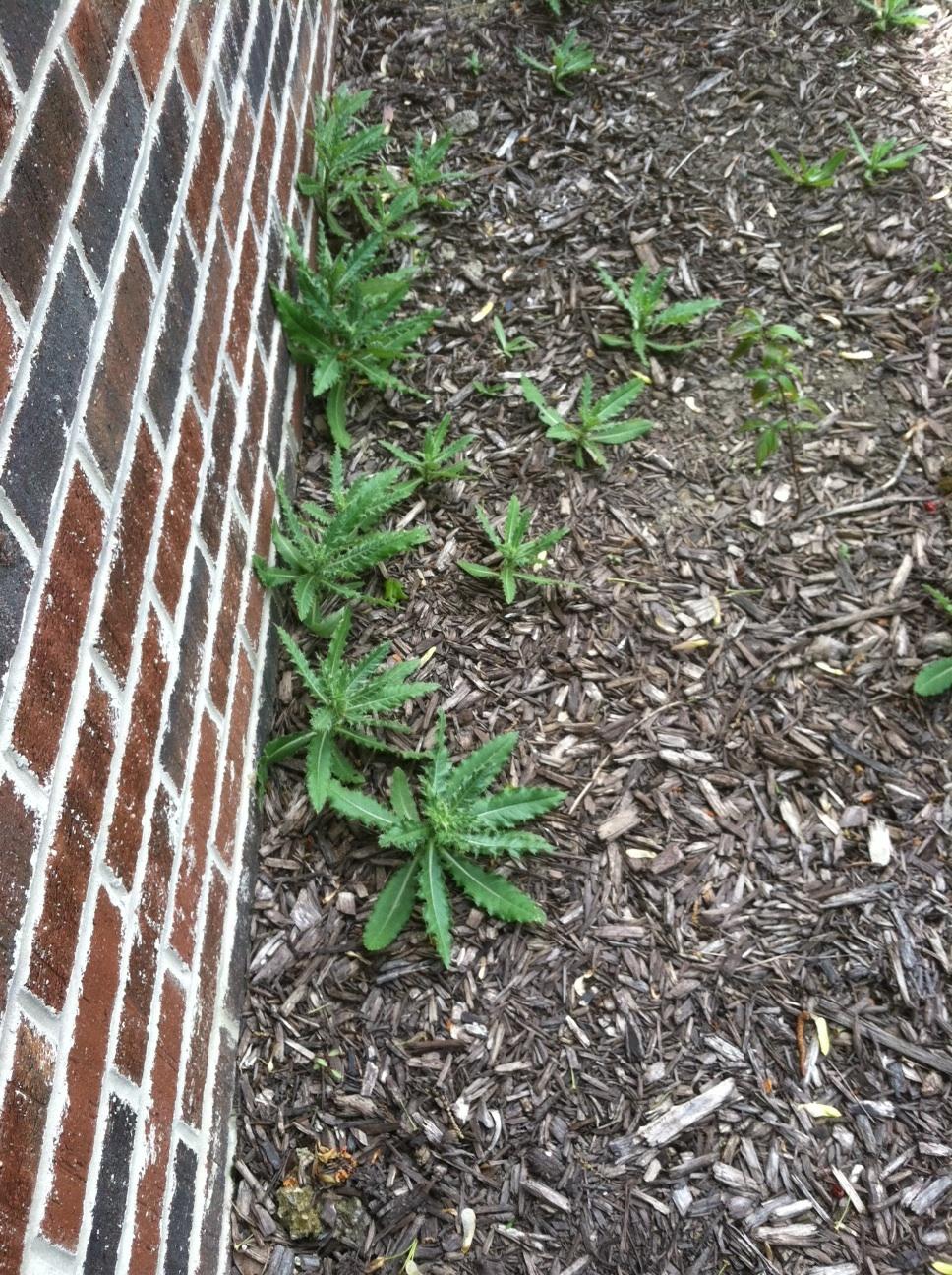 weeds in bed