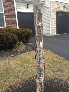 tree shrub care cracked