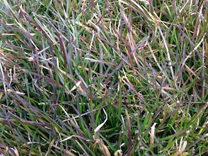 red thread lawn disease