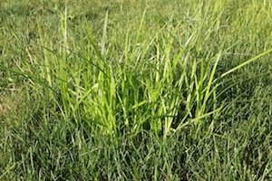 Nutsedge in Lawn