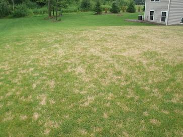 dollar spot lawn fungus