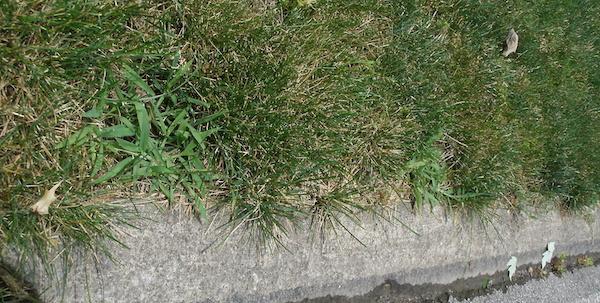 how_to_kill_crabgrass