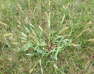 common weeds barnyard grass