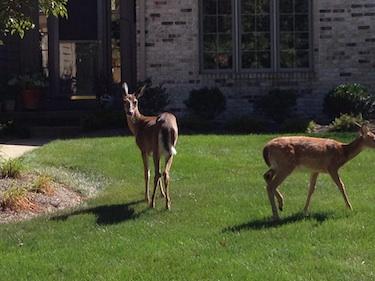 deer in lawns
