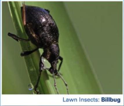 Billbug Lawn Care
