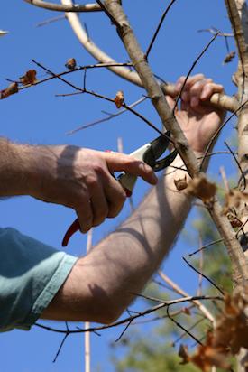 pruning trees shrubs