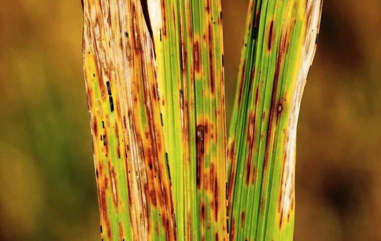 leaf spot lawn care disease