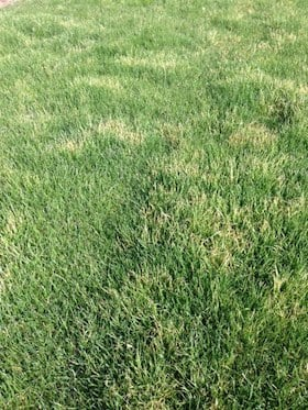 frost_injury_lawn
