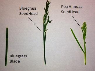 bluegrass_seedheads