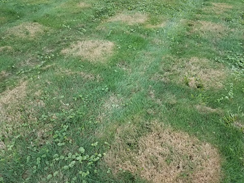 lawn-disease