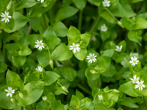 chickweed-lawn