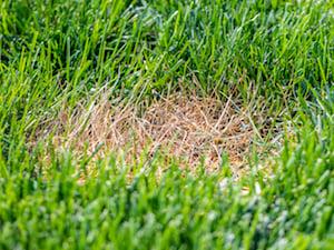 dead-spot-lawn