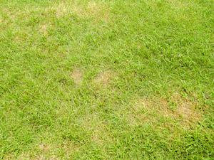 dollar-spot-lawn-fungus