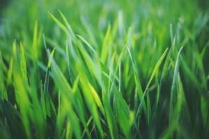healthy-grass-blades
