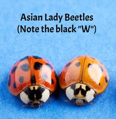 Asian-lady-beetle-identification-861674-edited.jpg