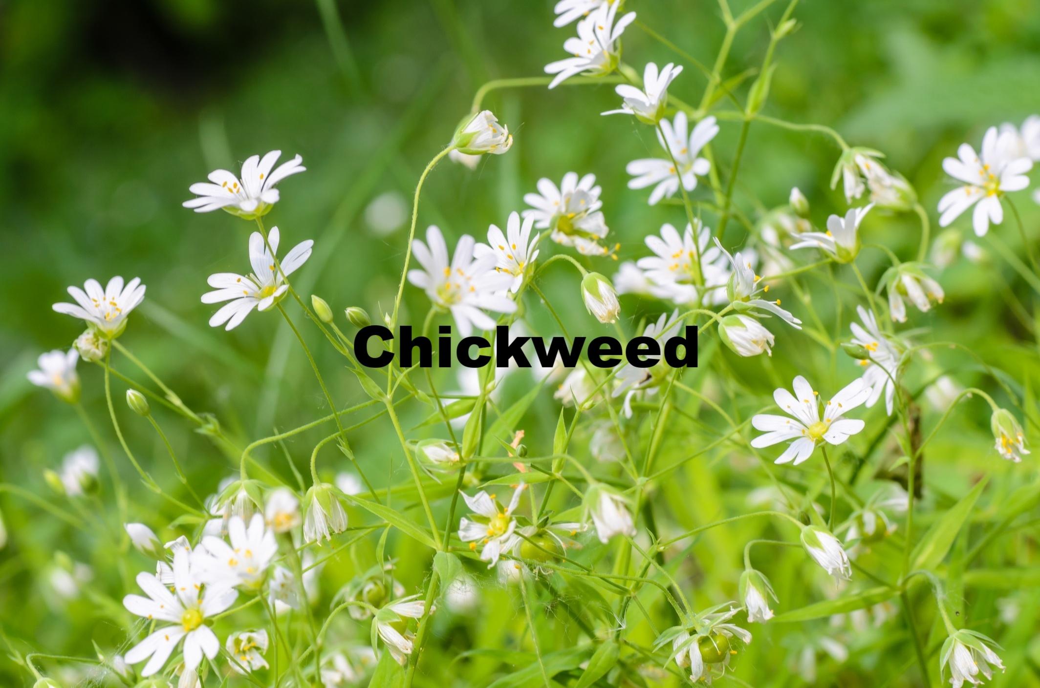 Chickweed-identification-435641-edited.jpg