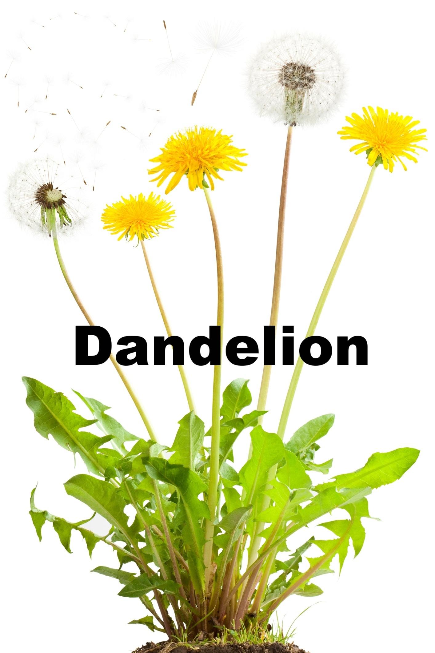 Dandelion-Identification-288401-edited.jpg