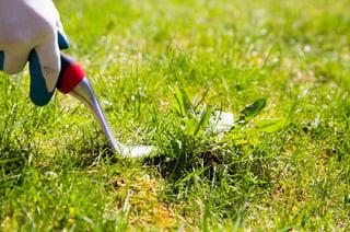 Early_Spring_Lawn_Weeds.jpg