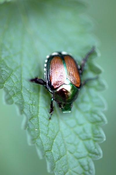 Japanese_Beetle-1