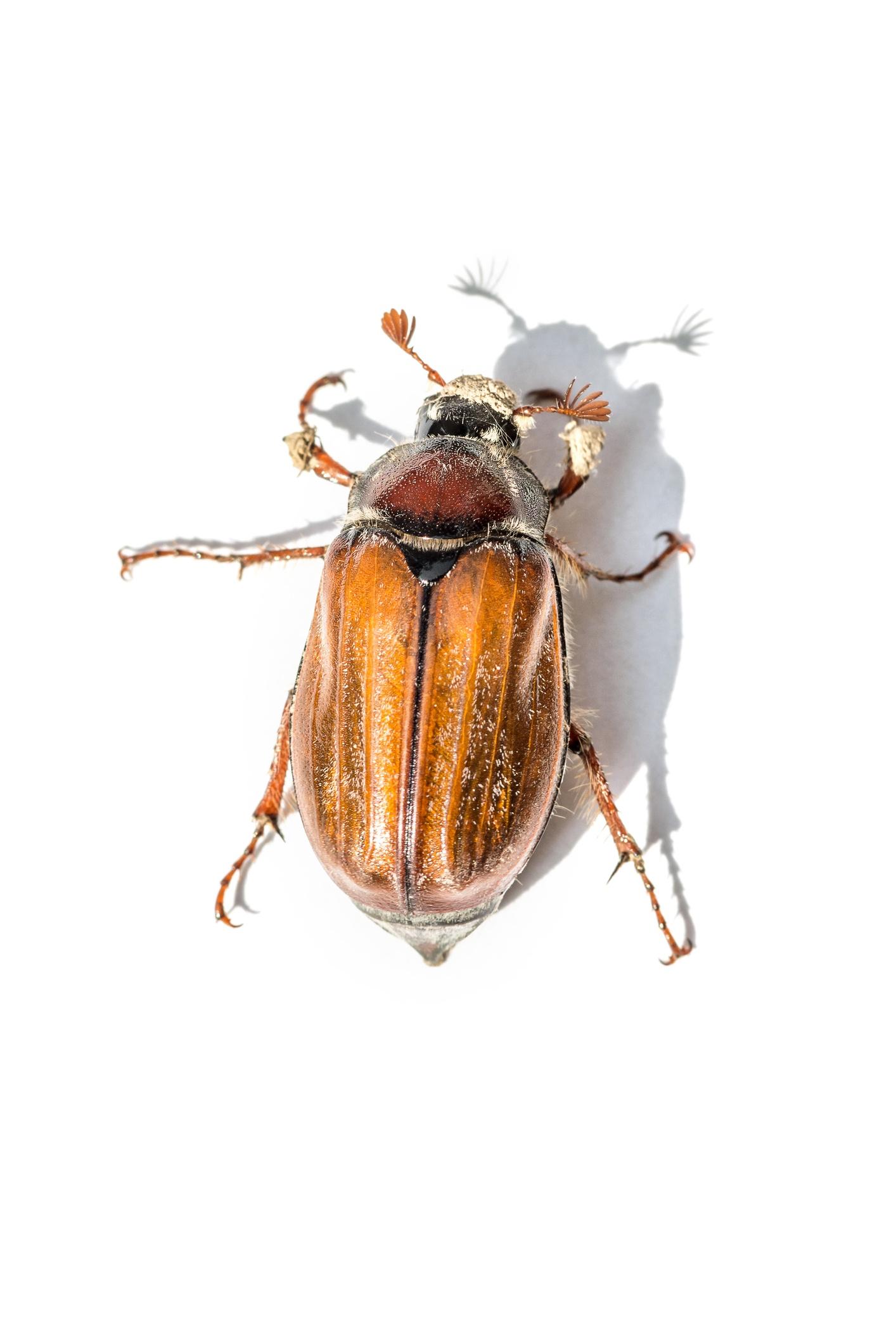 June-beetle-identification.jpg