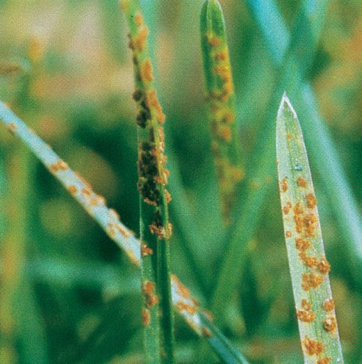 Lawn-Rust-Fungus-Identification.jpg