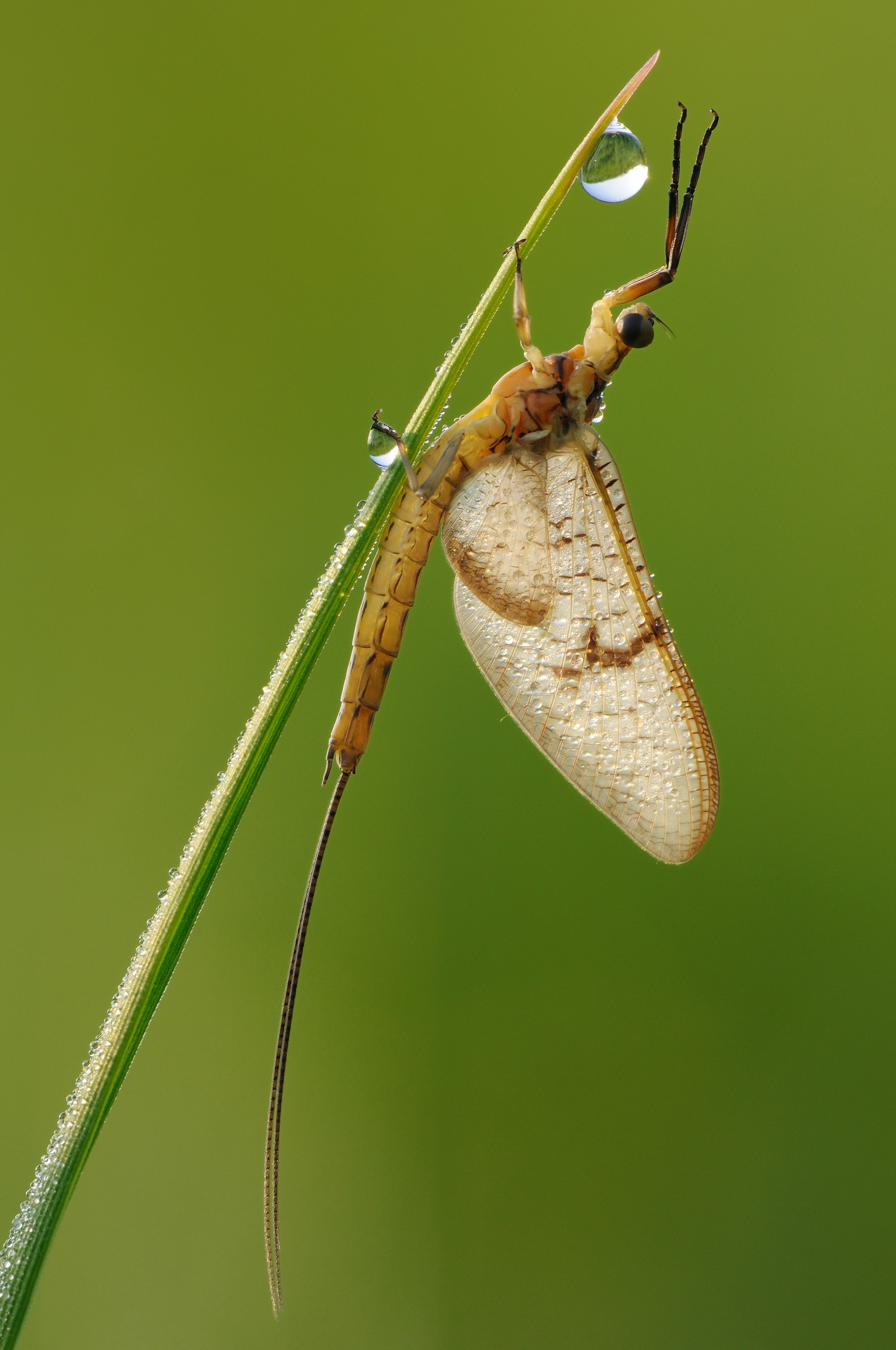 Mayflies-identification.jpg
