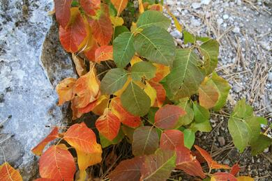 Poison-ivy-identification-and eradification.jpg