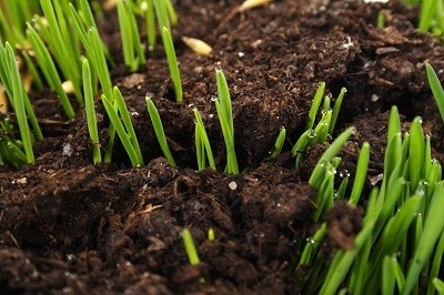 Reseeding_Your_Lawn