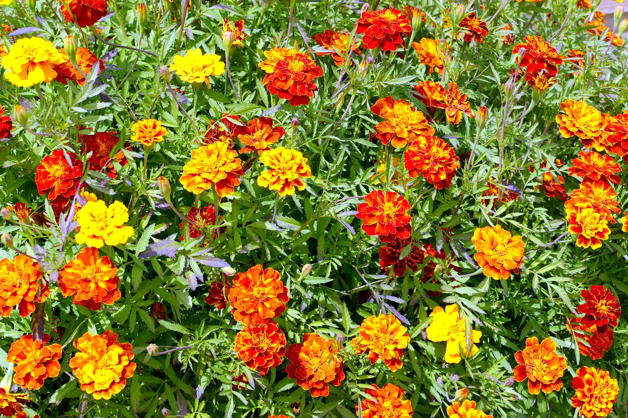 Spring-flower-planting-marigolds.jpg