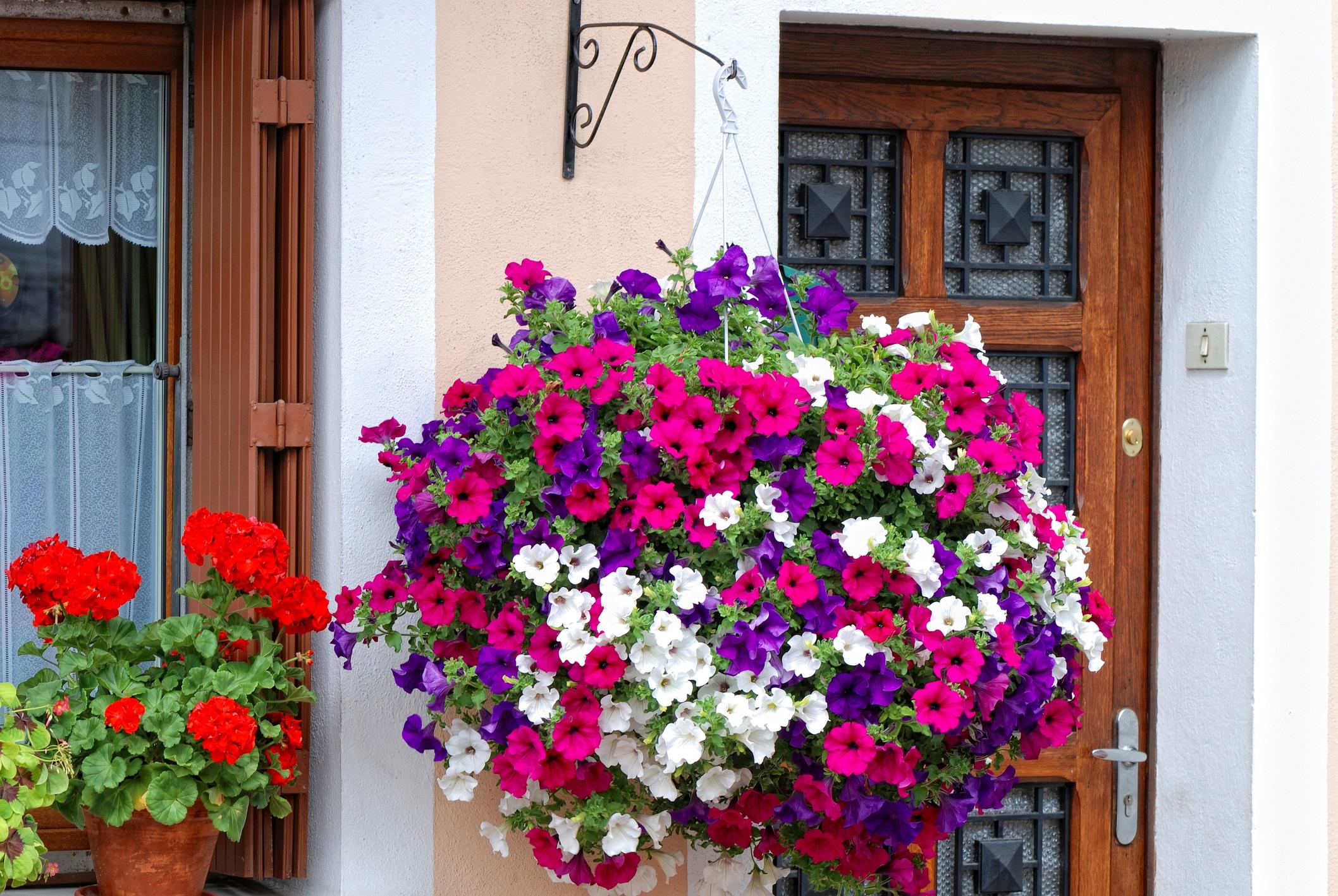 Spring-flower-planting-petunias.jpg
