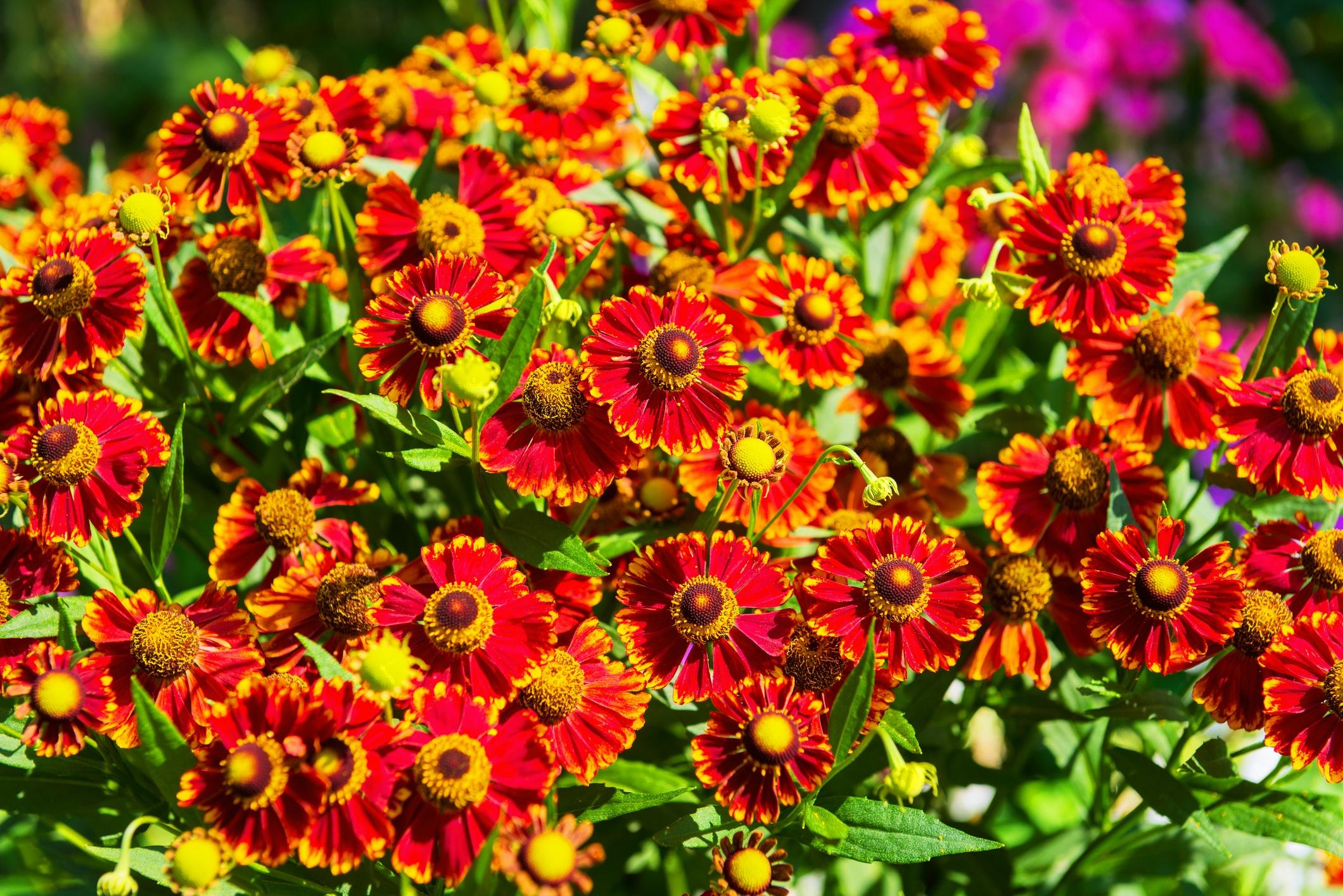 Spring-planting-blanket-flowers.jpg