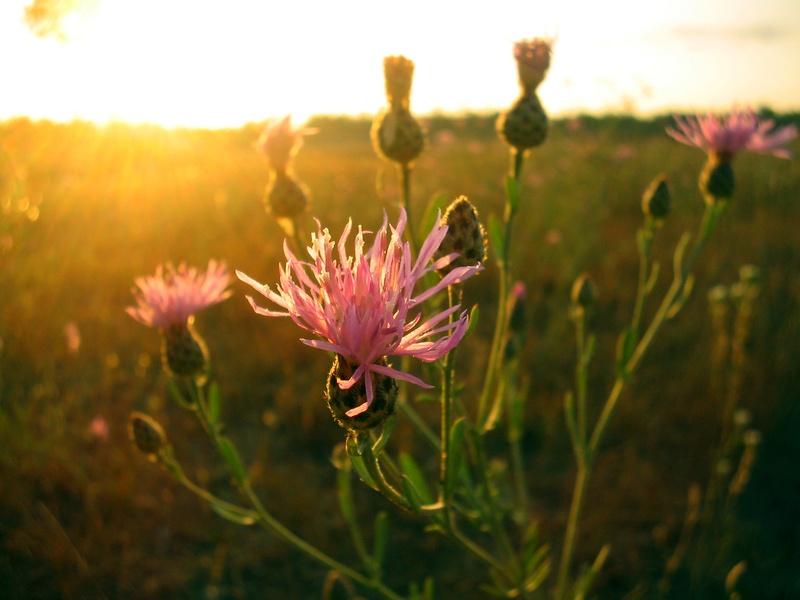 Weed_Focus_Canadian_Thistle.jpg