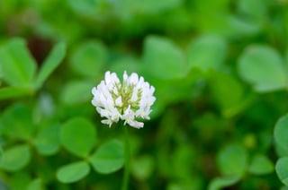 Weed_Focus_White_Clover.jpg