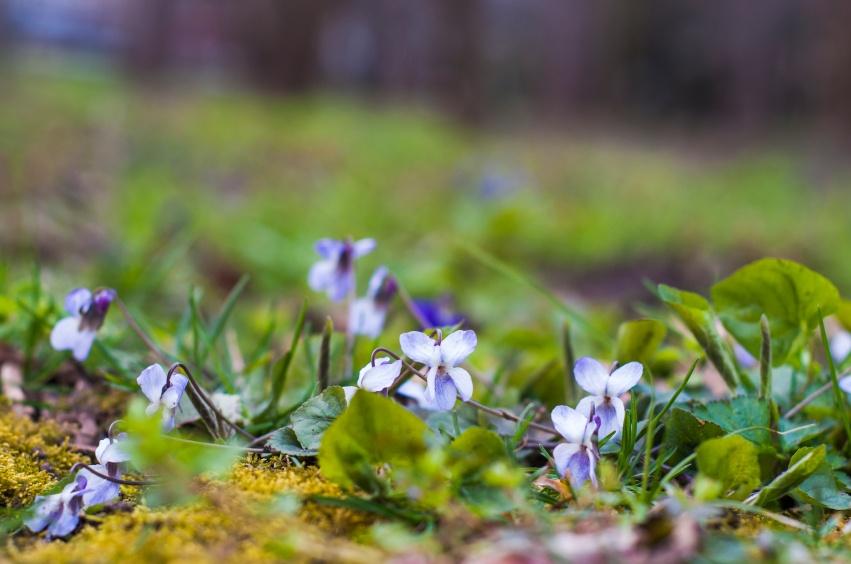 Weed_Focus_Wild_Violets.jpg