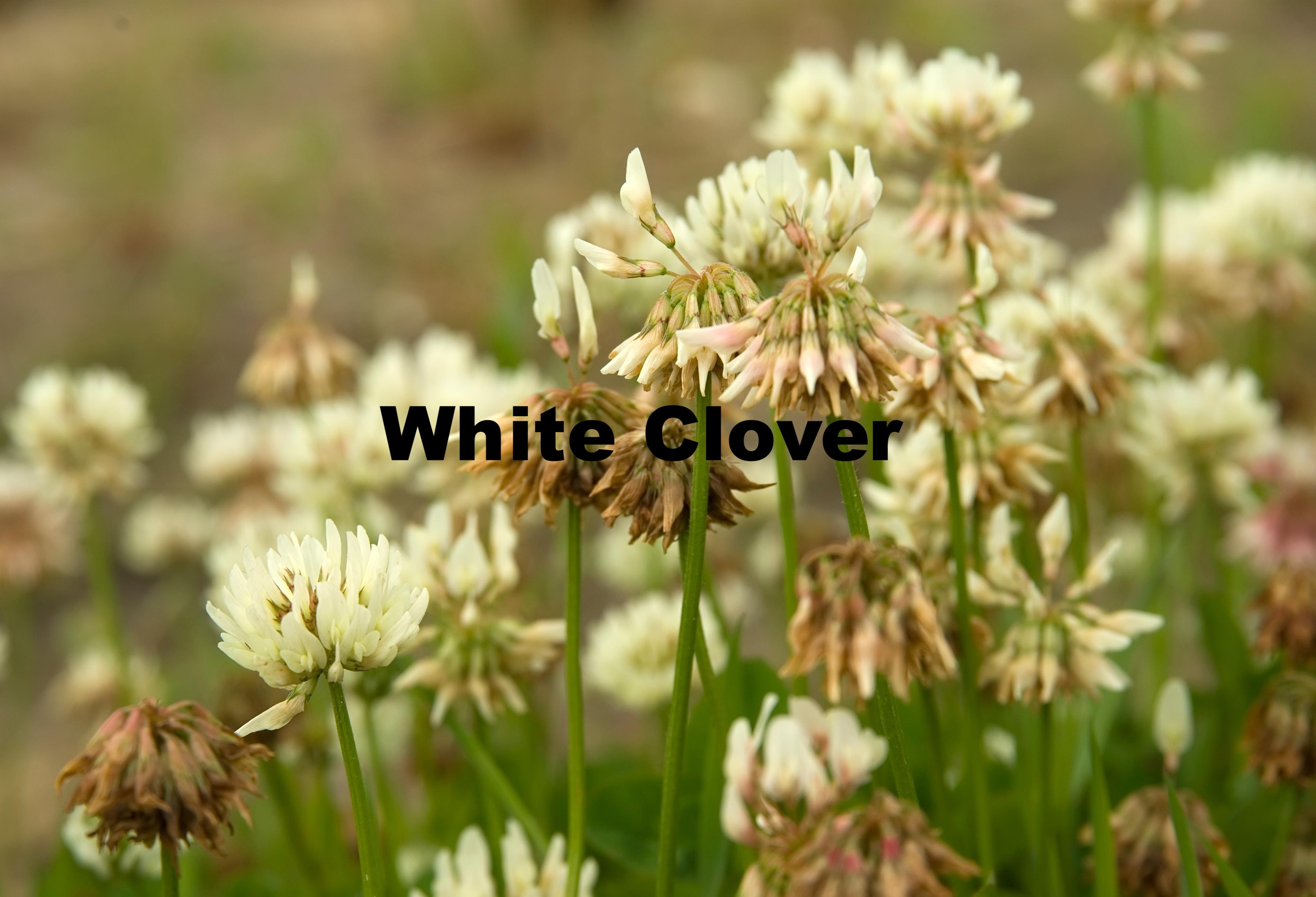 White-Clover-Identification-107144-edited.jpg