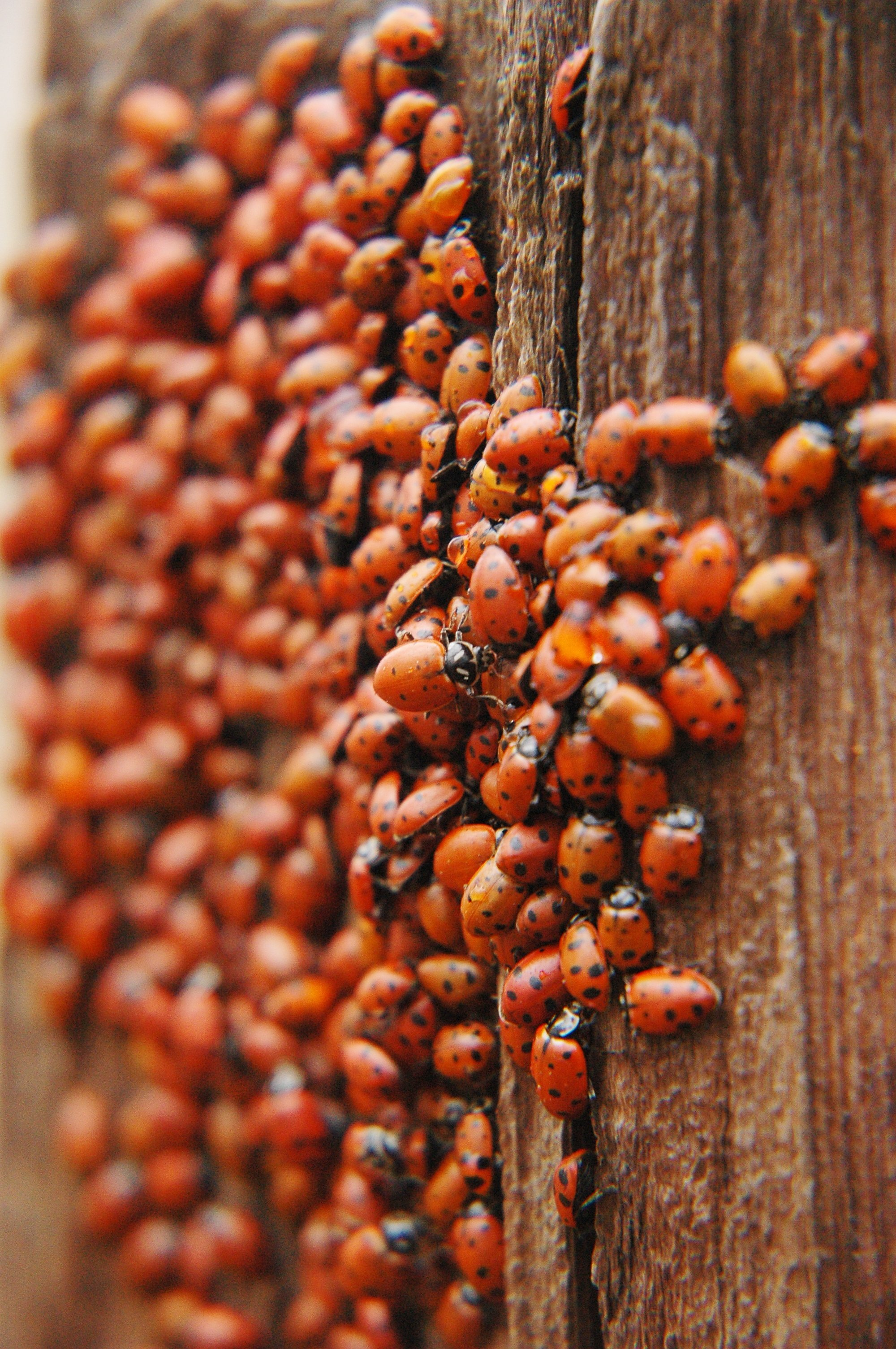 asian-lady-beetle-swarm.jpg