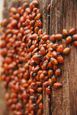 asian-lady-beetle-swarm.jpg