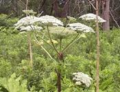 giant-hogweed-flower.jpg