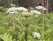 giant-hogweed-flower.jpg