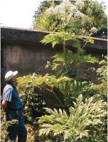 giant-hogweed-identification.jpg