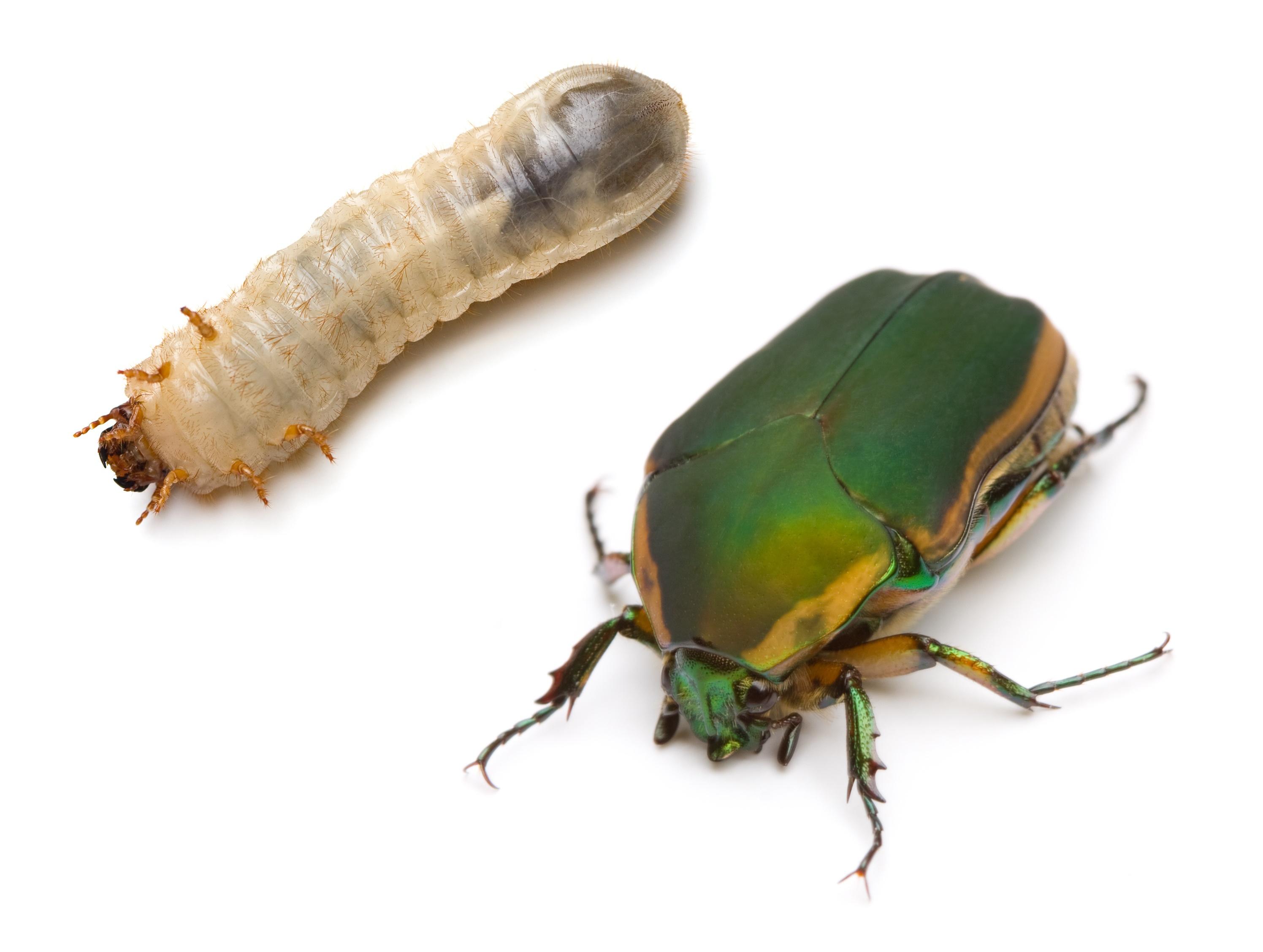 green-june-beetle-grub.jpg