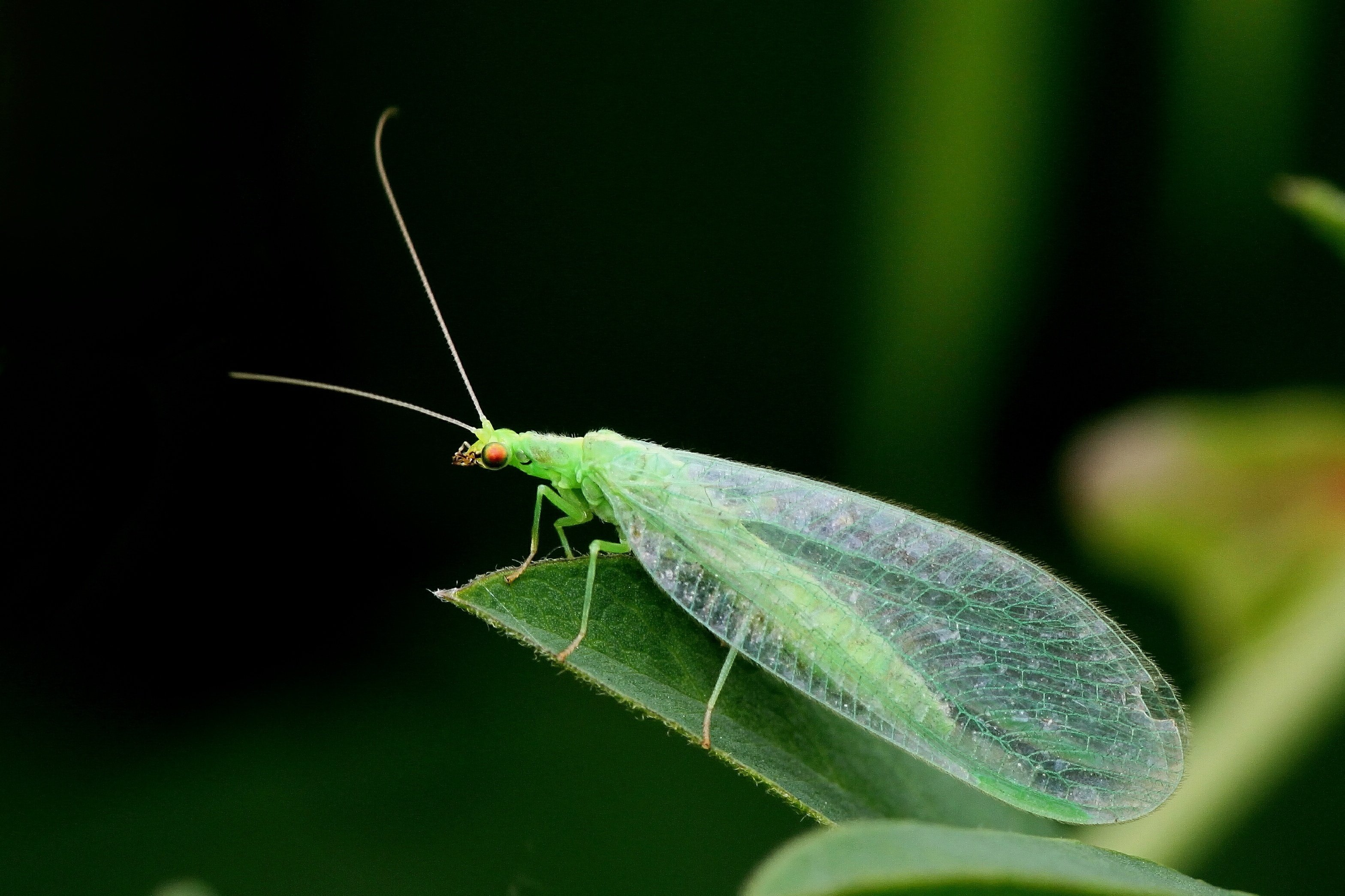 green-lace-wing.jpg