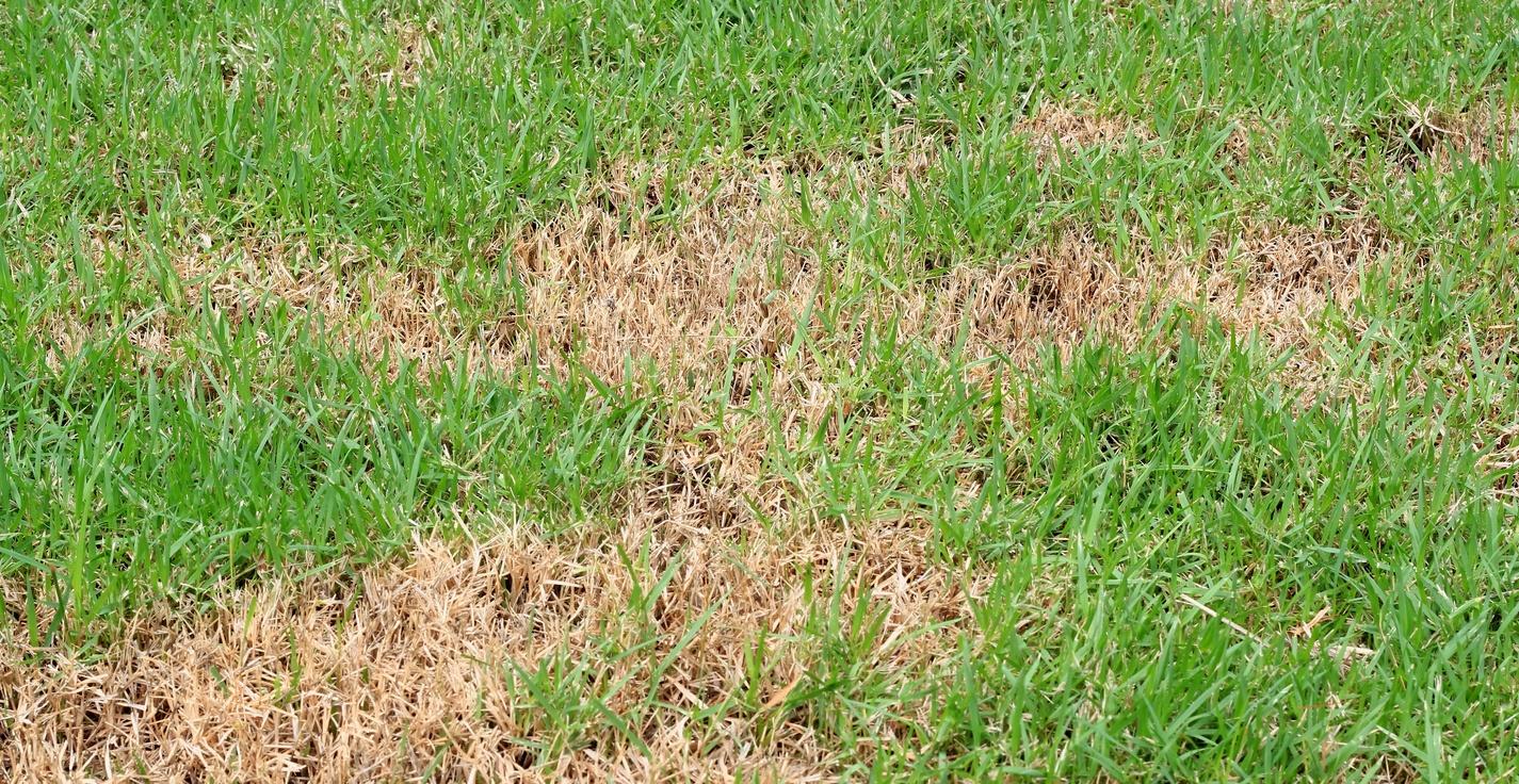 grub-damage-to-lawns.jpg