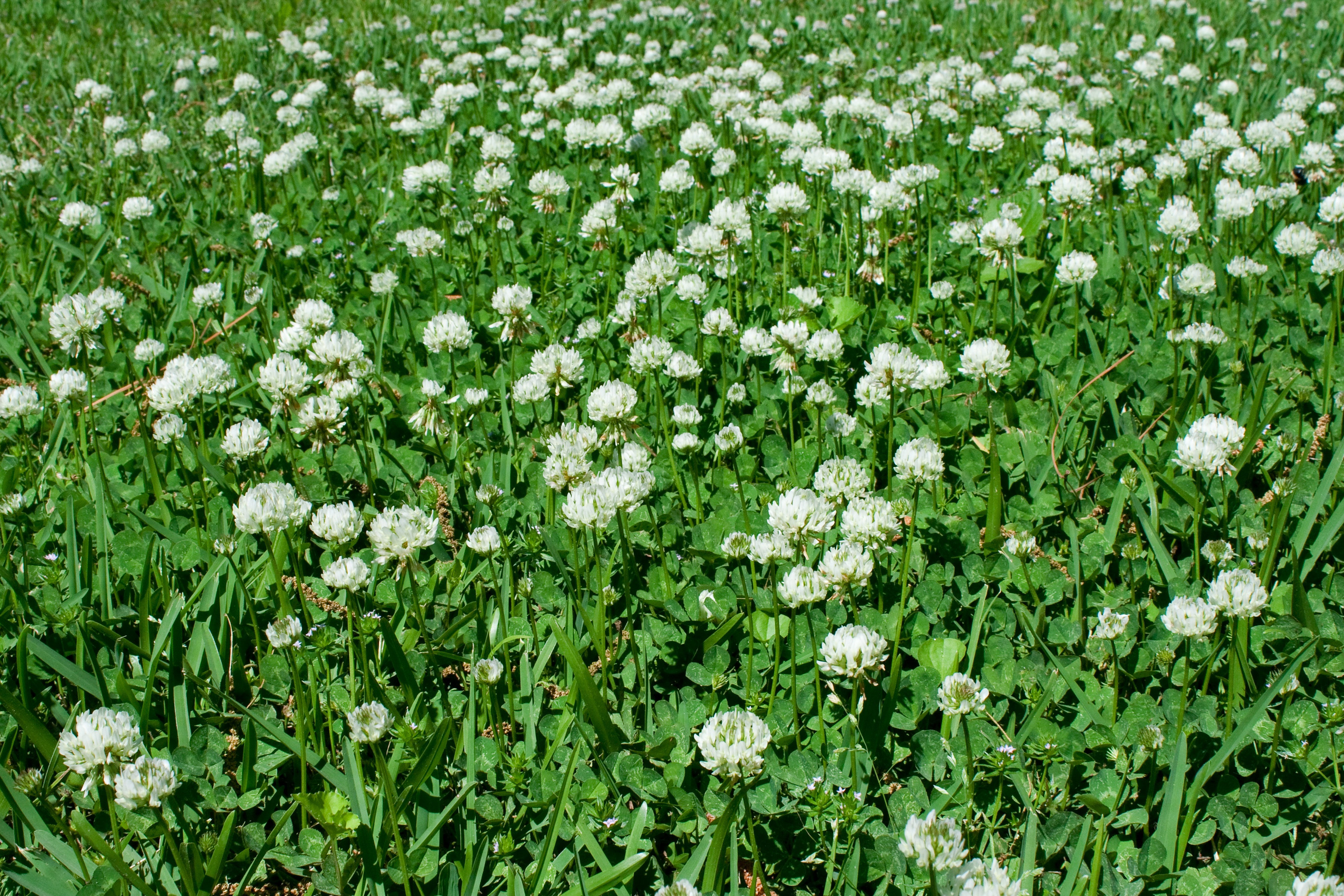 how-to-control-white-clover-in-lawn.jpg