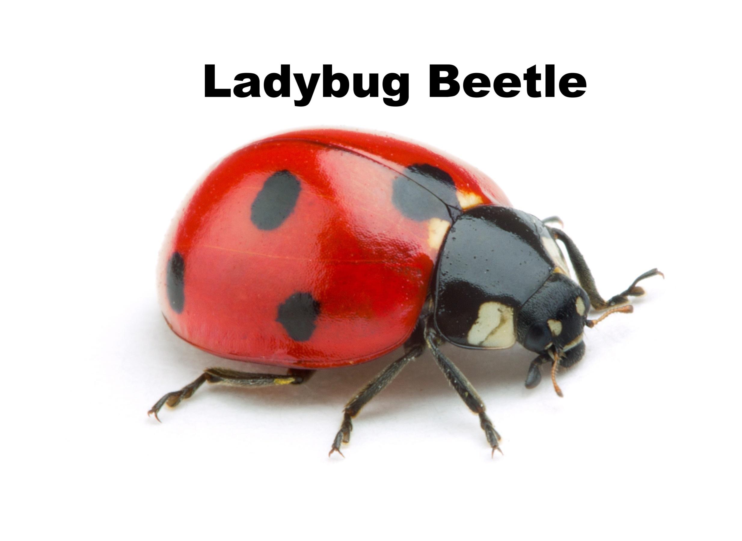 ladybug-beetle-identification-525285-edited.jpg